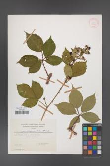 Rubus angustipaniculatus [KOR 29969]