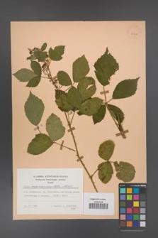 Rubus angustipaniculatus [KOR 23862]