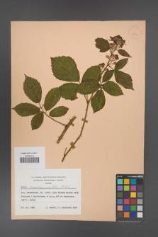 Rubus angustipaniculatus [KOR 23861]
