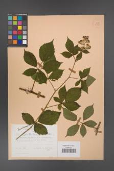 Rubus angustipaniculatus [KOR 23860]