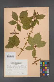 Rubus angustipaniculatus [KOR 23767a]