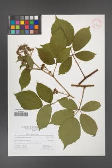 Rubus apricus [KOR 41729]