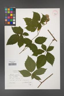 Rubus apricus [KOR 39089]