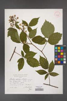 Rubus apricus [KOR 39045]