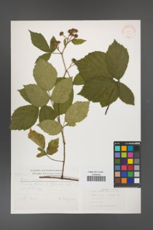 Rubus apricus [KOR 31403]