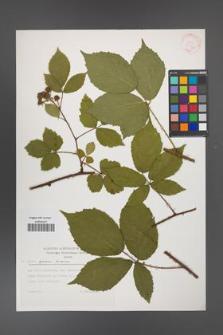 Rubus apricus [KOR 30563]