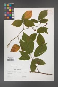 Rubus apricus [KOR 39771]