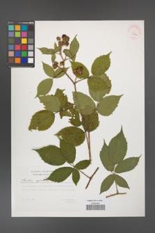 Rubus apricus [KOR 29794]