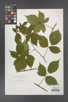 Rubus apricus [KOR 29519]