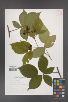 Rubus apricus [KOR 32408]