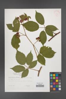 Rubus apricus [KOR 32417]
