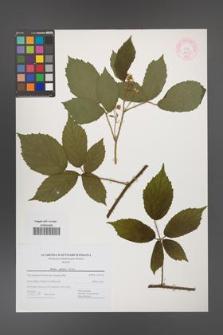 Rubus apricus [KOR 44437]