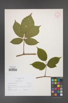 Rubus apricus [KOR 44359]