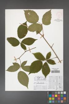 Rubus apricus [KOR 52074]