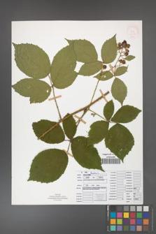 Rubus apricus [KOR 52076]