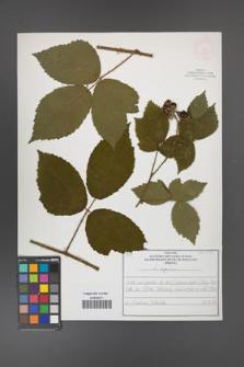 Rubus apricus [KOR 52595]