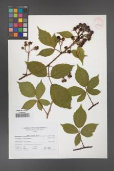 Rubus apricus [KOR 41699]