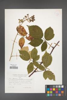 Rubus apricus [KOR 24857]