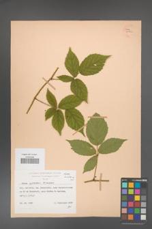 Rubus apricus [KOR 25561a]