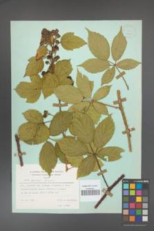 Rubus apricus [KOR 23892]