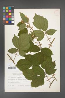 Rubus apricus [KOR 27067]