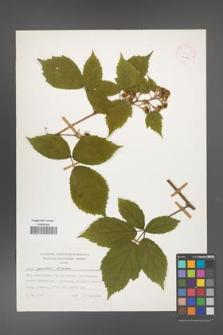Rubus apricus [KOR 24894]