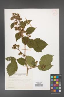 Rubus apricus [KOR 29921]