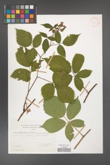 Rubus apricus [KOR 29381]