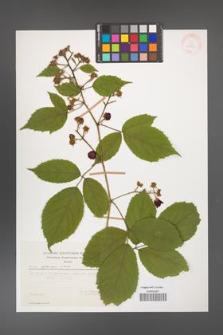 Rubus apricus [KOR 29382]