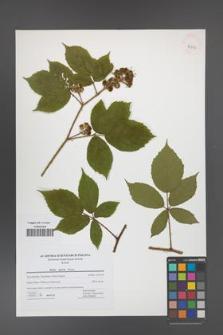 Rubus apricus [KOR 42737]