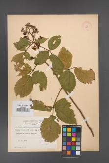 Rubus apricus [KOR 10799]
