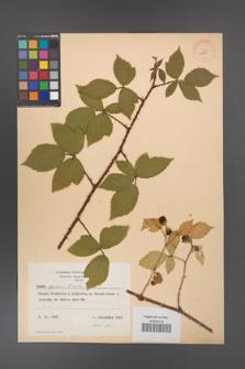 Rubus apricus [KOR 10800]