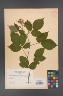 Rubus apricus [KOR 8735]