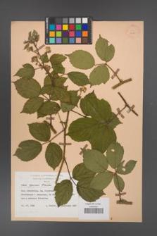 Rubus apricus [KOR 27965]