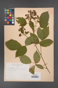 Rubus apricus [KOR 31165]