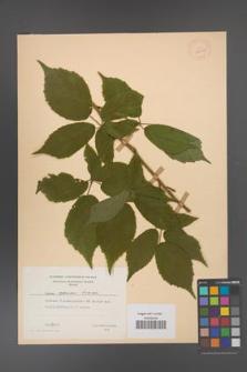 Rubus apricus [KOR 28036]