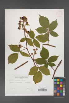 Rubus apricus [KOR 29592]