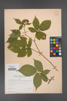 Rubus apricus [KOR 53805]