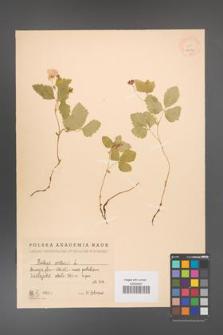 Rubus arcticus [KOR 18472]