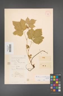 Rubus ×areschougii [KOR 10985]