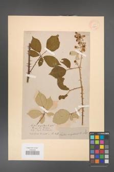 Rubus argenteus [KOR 18478]