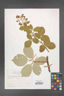 Rubus armeniacus [KOR 29923]