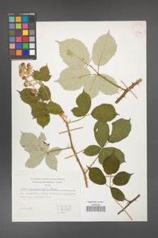 Rubus armeniacus [KOR 29925]