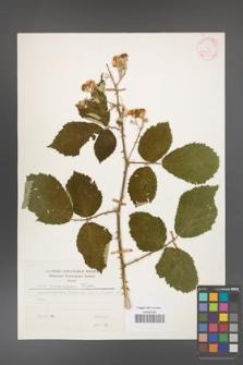 Rubus armeniacus [KOR 24795]