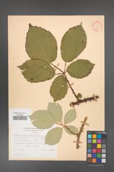 Rubus armeniacus [KOR 10559]