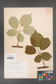 Rubus armeniacus [KOR 10560]
