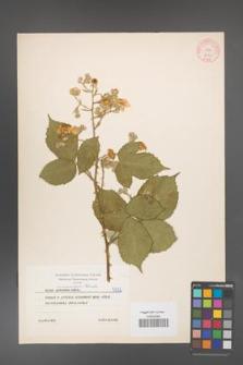 Rubus armeniacus [KOR 5632]