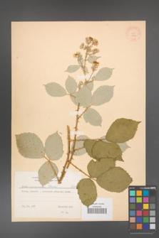 Rubus armeniacus [KOR 8757]
