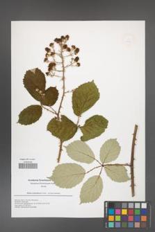 Rubus armeniacus [KOR 49941]