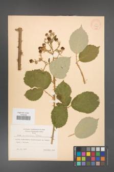 Rubus armeniacus [KOR 8779]
